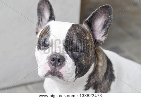 sleeping French bulldog or sitting dog on the floor