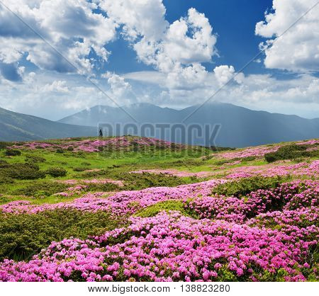 Pink flowers in the mountains. Summer landscape with blooming rhododendron in the meadow. Sunny day and good weather. Karpaty, Ukraine, Europe