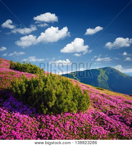 Sunny day in the mountains. Pink flowers in the meadow. Blooming rhododendron in the wild. Alpine pine bush. Sky with beautiful cumulus clouds. Karpaty, Ukraine, Europe