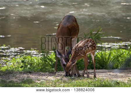 Alabama Mother and Fawn Whitetail Deer By Pond
