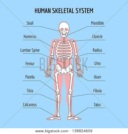 Human skeletal system. Vector human bone anatomy illustration