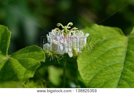 One passiflora foetida flower in the garden in thailand