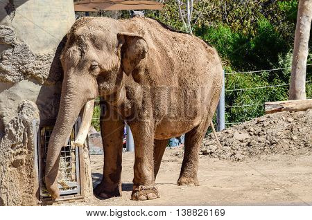 Large mature elephant staying cool at the zoo