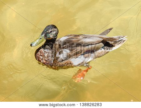 Webbed-foot duck taking a swim on a hot summer day