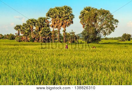 A Vietnamese woman in a green field in rural Cambodia