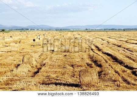 golden colors of summer wheat field after a harvest