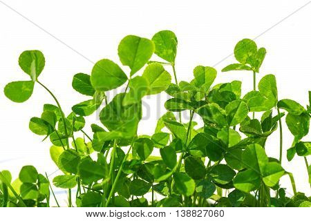 clover with white background with blank place