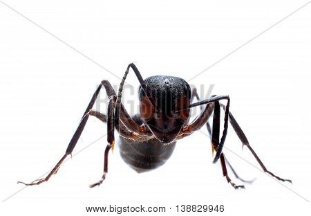 Forest ant isolated on white background extreme macro photography