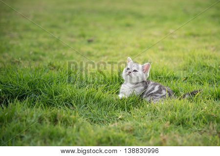 American Shorthair kitten lying and looking up on green grass