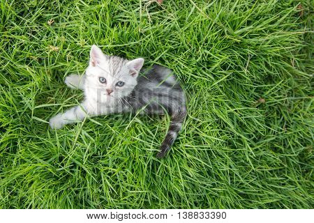 Cute American Shorthair kitten lying and looking up on green grass