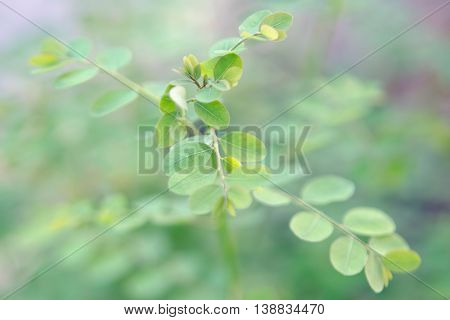 Moringa (Other names are Moringa oleifera Lam. MORINGACEAE Futaba kom hammer vegetable hum Moringa hum bug bug Hoo) leaf tropical plant