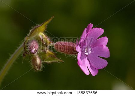 Red Campion - Silene dioica Single sunlite flower & buds against dark background
