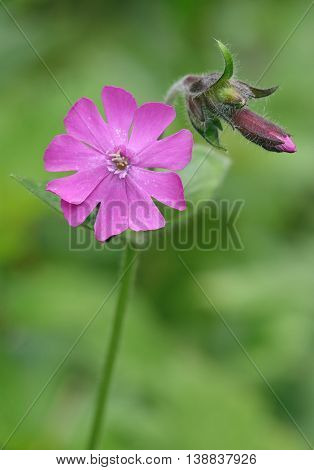 Red Campion - Silene dioica Flower & bud against diffused background