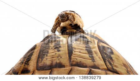 Baby turtle climbed on top large tortoise