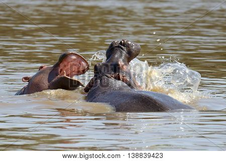 Hippo On Lake In Africa