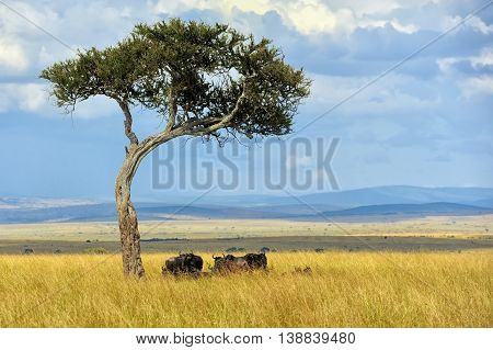 Wildebeest In National Park Of Africa