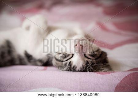 Closeup portrait of sweet sleep white-gray kitten