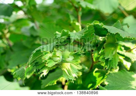 Green unripe hazelnuts on a tree. Growing hazelnuts in a garden outdoors.