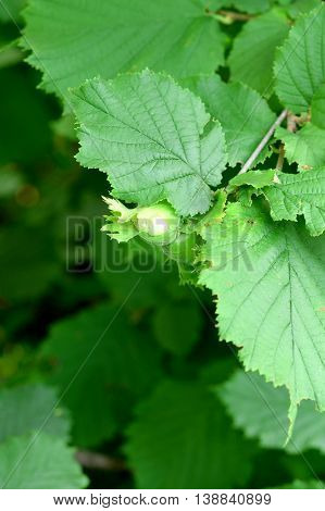Unripe green hazelnuts on a branch outdoors. Cultivation of hazelnuts in a garden