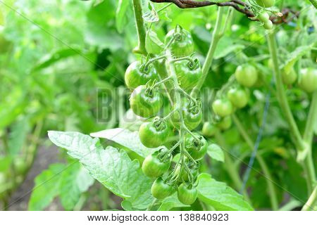 A bunch of fresh unripe tomatoes. Growing cherry tomatoes in a vegetable garden. Agriculture. Green leaves background