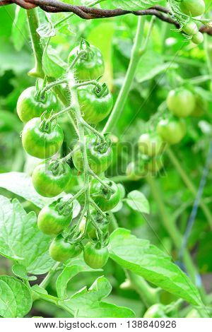 Branch of green unripe cherry tomatoes. Organic cherry tomatoes cultivation in a garden. Vegetable gardening. Closeup