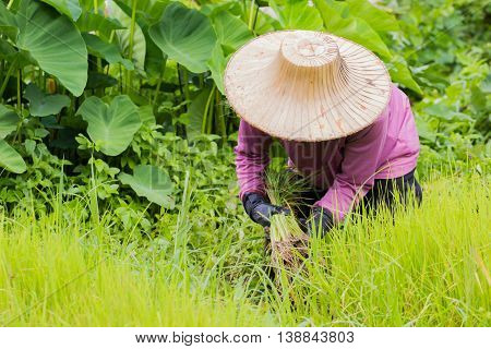 Thai farmer with traditional hat working on rice field.