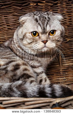 Beautiful bicolor stripes cat with yellow eyes Scottish Fold Sits in a wooden basket