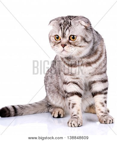 cute Scottish fold cat bicolor stripes isolated  on white background