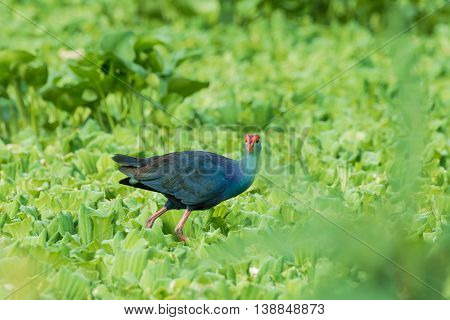 Water Bird walking overplant (Purple Swamphen) as background