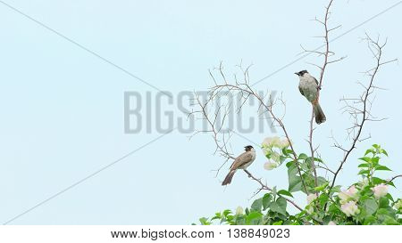Sooty-headed bulbul ,Beautiful bird perching on branch as background