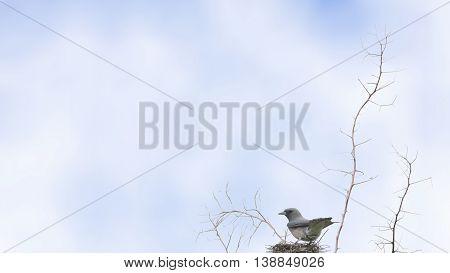 Ashy Woodswallow Bird Perching On Nest As Background