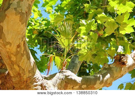 an unusual phenomenon, on the branch of a sycamore grows tree, a tree whose leaves are similar to maple, grows palm trees, texture, bark wood similar to the style hacks, it is clear bright blue sky