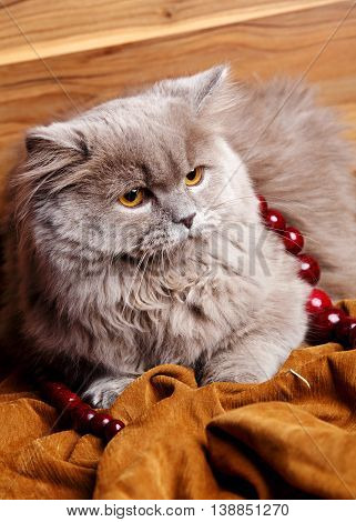 cute gray Scottish long-haired straight cat on a wooden background