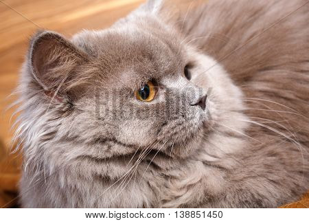 portrait of cute gray Scottish long-haired straight cat on a wooden background