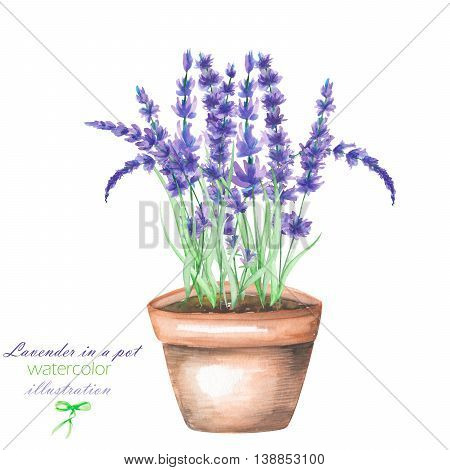 Illustration with the lavender flowers in a pot, isolated hand drawn in a watercolor on a white background