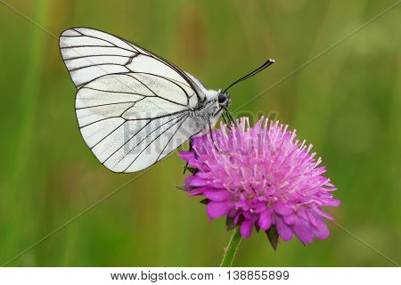 Male of Black-veined White butterfly on the pink flower