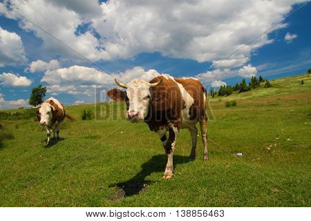 Two Cows grazing in the floral green meadow