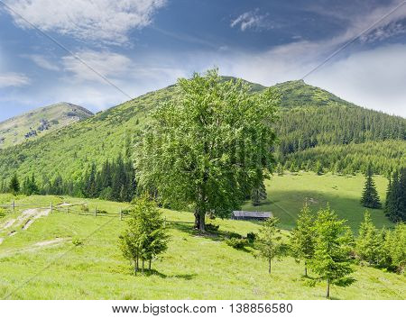 Carpathian mountain landscape with mountain peaks mountain pasture and solitary large deciduous tree in summer windy day