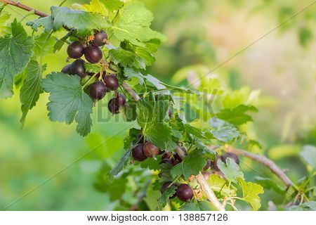 Branch of jostaberry with ripe berries and leaves on blurred background
