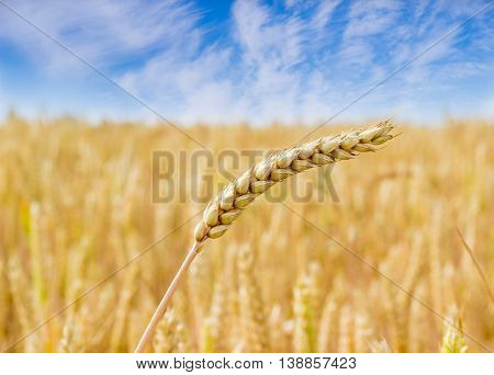 Spike of ripe wheat on the background of the wheat field and sky with clouds closeup