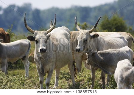 Heard of white Hungarian Grey cattle cows