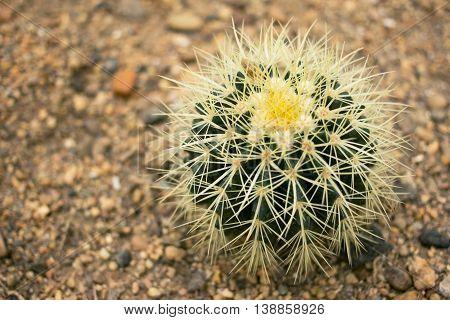 cactus in desert.domestic cactus closeup. Cactus Plant, top view