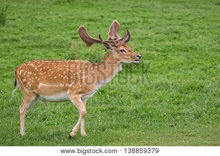 Fallow deer on the run in a clearing