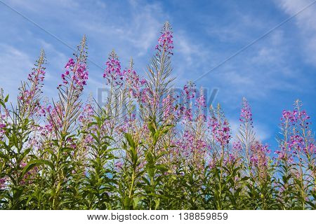 Long spike inflorescence pink wildflowers Lythrum salicaria on a blue sky background