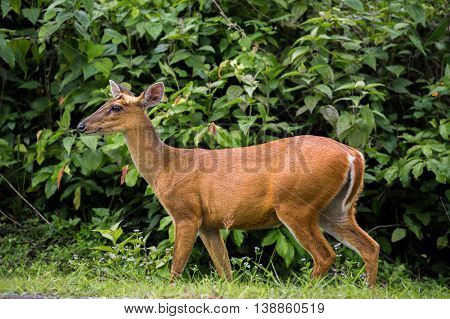 Wild deer walking on grass and looking forward when hearing strange kind of sound. It stood in front of green tree in tropical forest of Thailand.