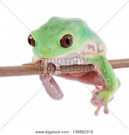 Trinidad Monkey Leaf Frog, Phyllomedusa trinitatus, isolated on white background