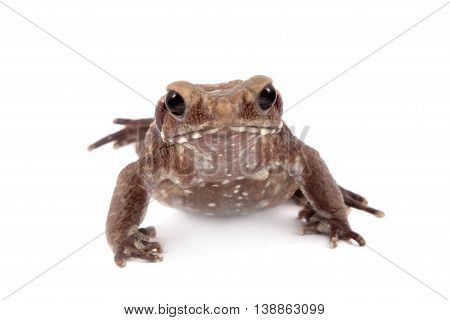 Smooth-sided toad, Rhaebo guttata, isolated on white background