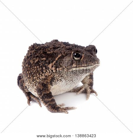 Eastern olive toad, Amietophrynus garmani, isolated on white background