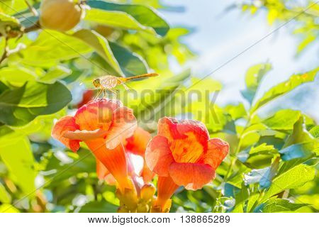 Dragonfly with transparent wings on the orange flower trumpet creeper (Campsis) in the sunny summer garden on blurry background of green foliage and blue sky backlit close up. Selective focus