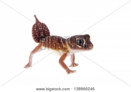 Smooth Knob-tailed Gecko, Nephrurus levis levis, isolated on white background
